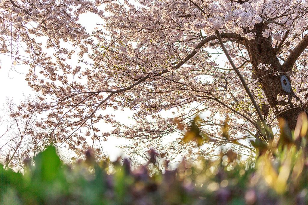 """「春本番""""前""""におさえておきたい、東京都内の厳選「お花見ラン」コース7選」の画像"""